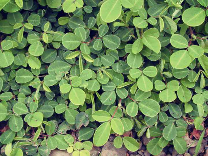 desmodium beneficios